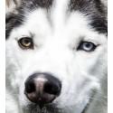 Higiene del ojos y oidos  perro